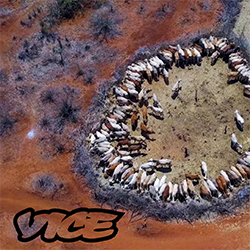 Aerial view of cattle from Vice